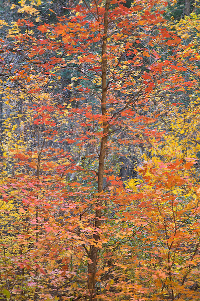 Bigtooth Maple in autumn color in West Fork of Oak Creek Canyon, Coconino National Forest, near Sedona, Arizona, AGPix_1884.