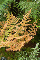 Dryopteris erythrosora (Autumn Fern)