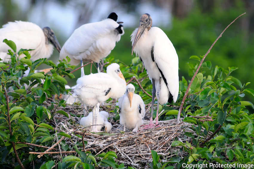 "Wood Stork ""family"" perched on an island of trees at Wakodahatchee Wetlands, Delray Beach, Florida."