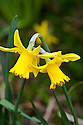 Daffodil (Narcissus 'Garden Princess'), mid March.