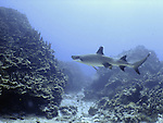 A whitetip reef shark swims in the lagoon  in Saipan. .Robert Gilhooly Photo