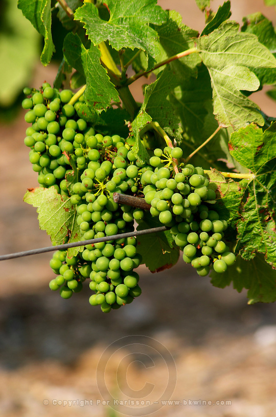 Domaine la Tour Vieille. Collioure. Roussillon. Vine leaves. Fruit setting with bunches developed and grapes well formed. The vineyard. France. Europe. Vineyard.