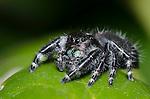 Bold Jumping Spider female (Phidippus audax), Lake Texoma, Marshall County, Oklahoma, USA