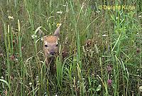 MA11-056z  White-tailed Deer - fawn - Odocoileus virginianus