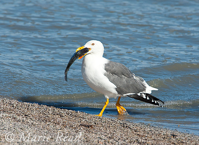Yellow-footed Gull (Larus livens), carrying fish in its bill, Salton Sea National Wildlife Refuge, California, USA