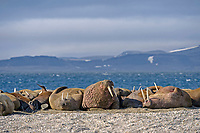 Atlantic walrus, Odobenus rosmarus rosmarus, herd lying on pebble bank, Arctic Ocean behind, mountains with snow patches, Spitsbergen, Arctic, Norway, Europe