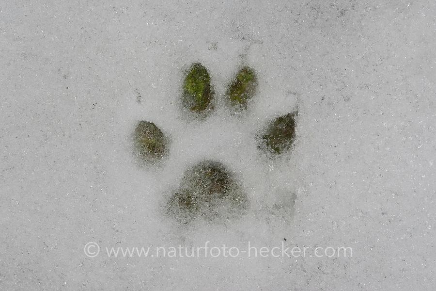 Steinmarder, Spur, Fußabdruck, Photenabdruck im Schnee, Marder, Stein-Marder, Martes foina, beech marten, stone marten, Fouine