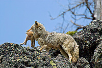 Wild Coyotes (Canis latrans)--mother carrying young pup to new den.  Western U.S., June.