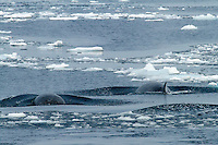 Minke Whales readying to dive in the Lemaire Channel on the Antarctic Peninsula.