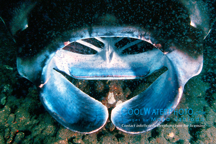 reef manta ray or coastal manta, feeding on plankton at night, Manta alfredi, Kona Coast, Big Island, Hawaii, USA, Pacific Ocean