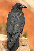 575500002 a wild common raven corvus corax perches on a brickwork wall at an overlook at bryce canyon national park utah united states