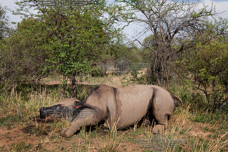 A dead rhino, killed for its horn, lies on the ground at the Mahara Game Lodge. It is the 826th rhino killed in South Africa this year.
