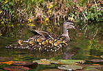 Duck babies on May 6th 2020 in Sparks, Nevada.