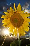 USA, California, Hybrid Sunflower