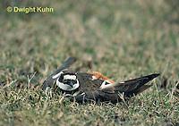 1K05-012z  Killdeer - adult broken wing act - Charadrius vociferus
