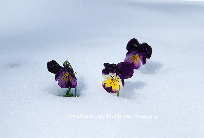 Johnny-Jump Ups (Viola rafinesquii) in snow, Marion Co. IL