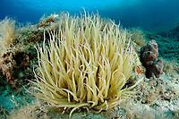 Anemonia sulcata, Riff mit Wachsrose, Coralreef and snakelocks anemone, sea anemone, Insel Brac, Adria, Adriatisches Meer, Mittelmeer, Kroatien, Island Brac, Adriatic Sea, Mediterranean Sea, Croatia