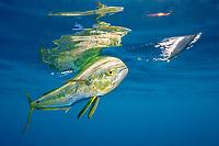 dorado, mahimahi, mahi-mahi, dolphinfish, or dolphin-fish, Coryphaena hippurus, chasing a ballyhoo bait, with reflection on ocean surface, off Isla Mujeres, near Cancun, Yucatan Peninsula, Mexico (Caribbean Sea)