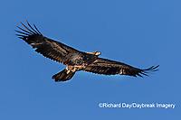 00807-03809 Bald Eagle (Haliaeetus lecocephalus) immature in flight Clinton Co. IL