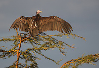 The largest of several vulture species seen during this trip.