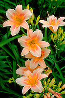 Pink day lilies with yellow centers in bloom.  Minneapolis Minnesota USA