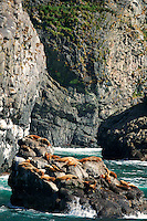Northern Steller Sea lions, Resurrection Bay, near Seward, Alaska