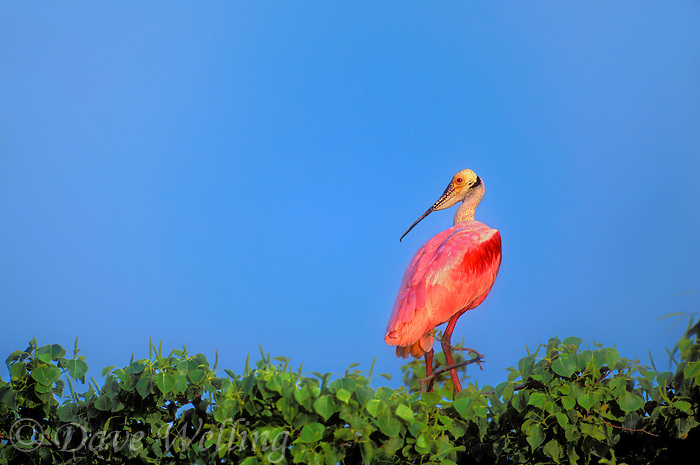 579008604 a wild roseate spoonbill ajia ajia perches in mangrove trees along an estuary on the texas gulf coast