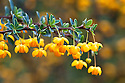 Yellow-orange flowers of Berberis buxifolia, late March.