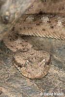 0518-1101  Sidewinder Rattlesnake (Horned Rattlesnake), Crotalus cerastes  © David Kuhn/Dwight Kuhn Photography