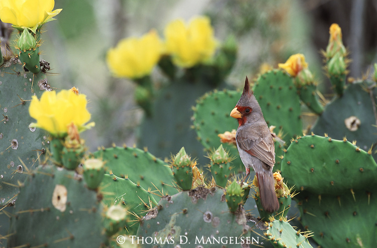 Pyrrhuloxia perched among flowering cacti in South Texas.