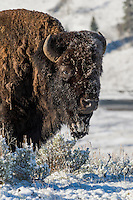 American Bison (Bison bison) bull standing in fresh snow.  Yellowstone National Park, Wyoming.  Spring.