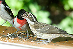 Adult Rose-breasted Grosbeak, Pheucticus ludovicianus. adult male feeding young