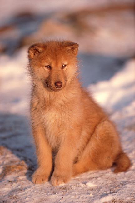 A Husky Puppy in Northwest Greenland.