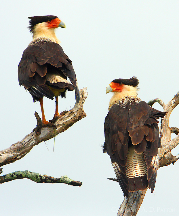 Pair of crested caracaras.