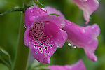 A close-up of a pink colored Foxglove  flower ,covered with water droplets.