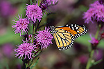2989-HL(CK) Monarch, Danaus plexippus, on Rough Blazing Star, Liatris aspera, in Maplewood, Minnesota
