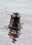 Sea Otter (Enhydra lutris), Moss Landing, Monterey, California, USA