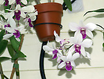 white and purple orchids