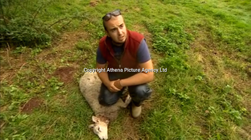 Pictured: Tom Hadley with one of the savaged sheep.<br />