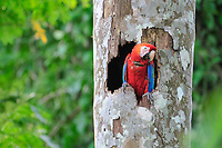 scarlet macaw, Ara macao, with radiotelemetry collar in nest in a hole of a tree, Tambopata National Reserve, Madre de Dios Region, Tambopata Province, Peru, Amazonia