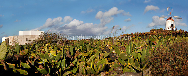 Panoramic view of Cochineal farm, Lanzarote, Canary Islands, Spain, pictured on November 26, 2010 in the evening. the windmill is in the Cactus Garden created by local artist Cesar Manrique. The Cochineal insect (Dactylopius coccus) is a scale insect which lives on cacti and is used in the production of red dye. Lanzarote, the Easternmost of the Canary Islands, lies 125km East of the African coast, in the Atlantic Ocean. Like the other islands in this autonomous Spanish archipelago, Lanzarote is originally Volcanic. Picture by Manuel Cohen.