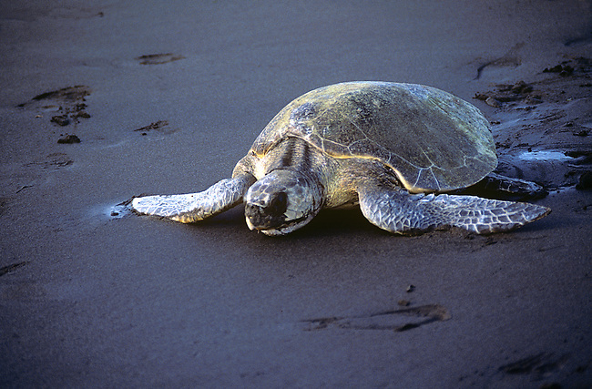 Ridley Turtle, Nancite Beach, Santa Rosa National Park, Costa Rica