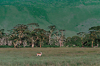 640297003 a wild male grants gazelle stands in on the open veldt plains with yellow fever trees in the background in ngorogoro crater national park in tanzania.