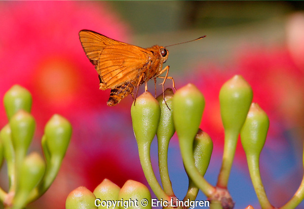 Skipper Butterfly on Red-flowering Gum flower-buds.  //  Skipper butterflies - Hesperiidae: various species all mainly shades of dull browns and yellows. Skippers have a distinctive darting flight pattern and a moth-like appearance. They are separated from the 'true' butterflies by their larger eyes, generally hairy body, hooked antennae, and a resemblance to moths. They mostly rest with their forewings vertical and hindwing horizontal; the posture in this photo is unusual but not uncommon. // Red-flowering Gum - Myrtaceae: Corymbia (=Eucalyptus) ficifolia. Height to 8m, depending on habitat. DBH: to 50cm. Occurs in the wild near Walpole in south-west Western Australia preferring sandy soils, but often hybridises with the closely related Marri tree (C. calophylla). Flowers can be crimson, red, orange, pink, dull white.  Popular as an ornamental tree because of its colourful flowers and tolerance of a wide range of climatic conditions.   //