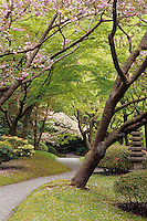 Path through moss and lawn, rhododendrons, and under a canopy of pink Japanese Cherry blossoms and Japanese Maple (Acer palmatum) trees in Spring, Nitobe Memorial Garden, UBC, Vancouver, BC.