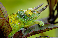 Jackson Chameleon (Chamaeleo jacksonii)  Originally from east Africa, Jackson Chameleons now thrive in the wild on several of the Hawaiian islands.  In 1972 several were introduced into the wild and the climate very much agreed with them.  They now infest at least five islands and are considered a threat to native insects.