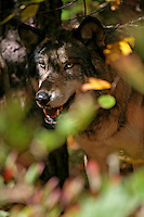Wolf Peering Through Foliage  #Z14