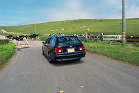 Cows on Pasture and Road at 'Historic 'A' Ranch', in Point Reyes National Seashore, California, USA
