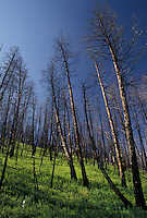 Yellowstone National Park, WY, Wyoming, Burnt lodge pole pines in a forest from the 1988 fire in Yellowstone Nat'l Park in Wyoming.