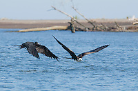 Adult male and immature magnificent frigatebirds, Fregata magnificens, near the mouth of the Tarcoles River, Costa Rica
